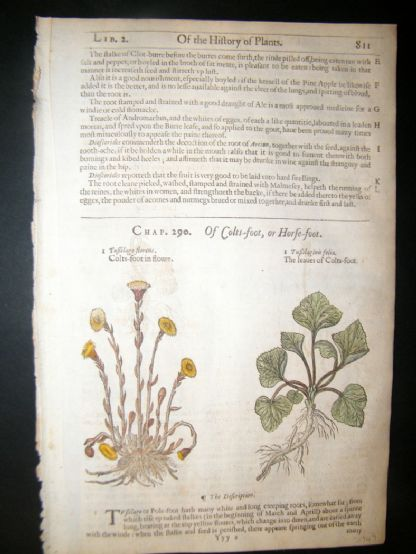 Gerards Herbal 1633 Hand Col Botanical Print. Coltsfoot | Albion Prints